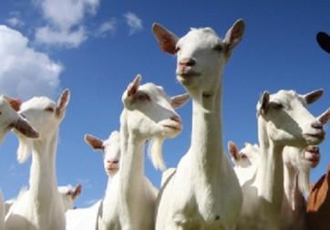 goats-large